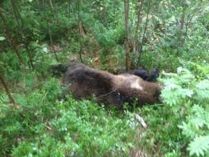 Här syns den fällda björnen...